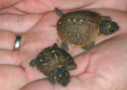 Pic of the baby-box-turtles-2