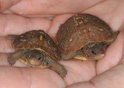 Pic of the baby-box-turtles-3